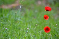 3 Poppies in the green grass. Poopies makes a flashing effect in the green grass Stock Images