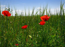 Poppies in the meadow. Poppies on a green meadow and sky with clouds stock images