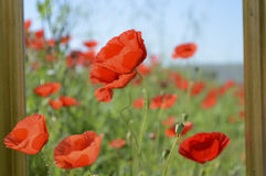 Poppies, green sfond and clear blue sky Stock Image