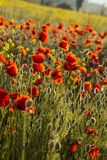 Poppies on green summer field in the sunset Royalty Free Stock Photo