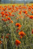 Poppies on green summer field in the sunset Royalty Free Stock Photography