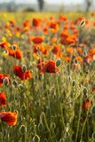 Poppies on green summer field in the sunset Stock Photos