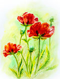 Poppies on green, watercolor. Painting Royalty Free Stock Images
