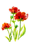 Poppies on green, watercolor. Painting Royalty Free Stock Photo