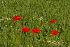 Poppies in a green wheat field in flanders  Papaveraceae Stock Images