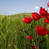 Poppies and green wheat Stock Photo