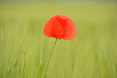Poppies in green wheat field. Poppies was one of five indigenous villages located in the region of Ñuñohue prior to the arrival of the Spaniards. Its economy Stock Photos