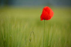 Poppies in green wheat field. Poppies was one of five indigenous villages located in the region of Ñuñohue prior to the arrival of the Spaniards. Its economy Stock Images