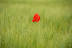 Poppies in green wheat field Stock Photos