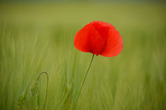 Poppies in green wheat field Royalty Free Stock Photography