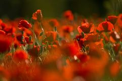 Field of poppies at sunset stock image