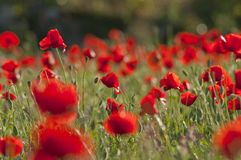 Field of poppies with back light. Poppies at ground level some of them blurred at sunset stock image