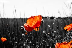 Poppies growing alongside a barley field stock images