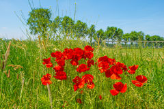 Poppies growing in a field in sunlight Stock Photo