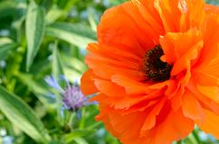 Garden Poppy flower in full springtime bloom. Poppies are herbaceous annual, biennial or short-lived perennial plants. Some species are monocarpic, dying after royalty free stock images