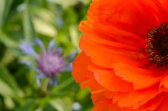 Orange Poppy and blue cornflower flower. Poppies are herbaceous annual, biennial or short-lived perennial plants. Some species are monocarpic, dying after stock image