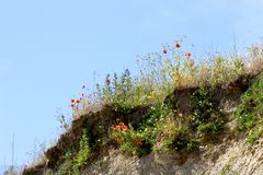 Poppies on the hill side Stock Photography