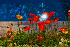 Poppies illuminated by the reflection of the sun`s rays on the water. royalty free stock images