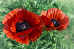Poppies, image in old style Royalty Free Stock Image