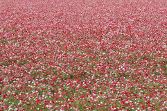 Free Poppies In Field Royalty Free Stock Image - 87506536