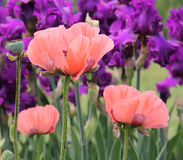 Poppies Among Iris. Peach poppies against purple iris stock photo