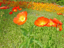 Poppies on the Isle of Mainau stock photos
