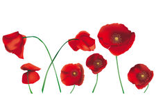 Poppies isolated Royalty Free Stock Photos