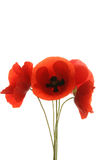 Poppies isolated Stock Photo