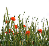 Poppies isolated om white background Royalty Free Stock Image