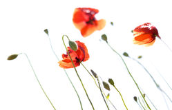 Poppies isolated on white Stock Image