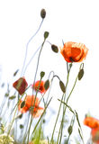 Poppies isolated on white Royalty Free Stock Image