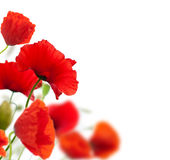Poppies isolated on white Stock Photography