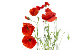 Poppies isolated on white background Stock Image