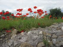 Poppies in Italy Royalty Free Stock Image