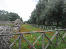 Poppies in Italy Stock Image