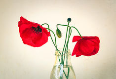 Poppies. In a jar in a summer afternoon Stock Images