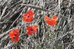 Poppies, Klatschmohn, Poppy Royalty Free Stock Images
