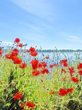 Poppies on a lake shore. This shot was taken near the lake of Kerkini, an artificial lake in northern Greece Royalty Free Stock Images
