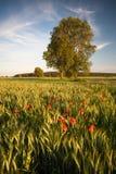 Poppies landscape Stock Photos