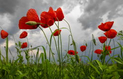 Poppies landscape. Landscape with a field of poppies and dramatic sky royalty free stock images