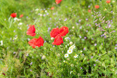 Poppies in landscape Royalty Free Stock Images