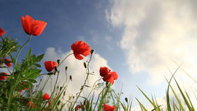 Poppies landscape time lapse Royalty Free Stock Photo