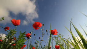 Poppies landscape time lapse stock video