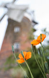 The Poppies` Last Hurrah. The last of the summer`s poppies bloom before Stansted Mountfitchet Windmill Stock Images