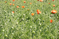 Poppies on the lawn Royalty Free Stock Photos