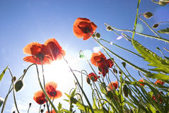 Poppies with lens flare Stock Images