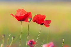 Poppies. Look like a family, don't you think so Royalty Free Stock Image