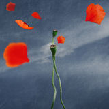 Poppies in love Royalty Free Stock Image