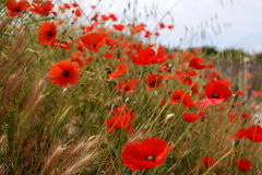 Poppies. Mack (lat. Papáver) - genus of herbaceous plants of the Poppy (Papaveraceae). The milky sap of poppies called Opium, which translated from Greek means Royalty Free Stock Photos