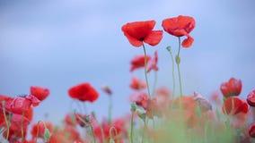 Poppies. Macro Royalty Free Stock Photo
